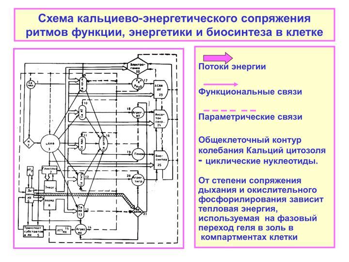 Схема кальциево-энергетического сопряжения