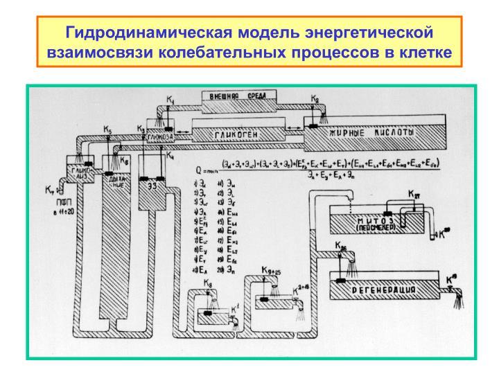 Гидродинамическая модель энергетической взаимосвязи колебательных процессов в клетке