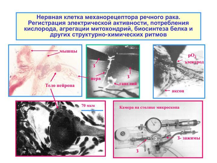 Нервная клетка механорецептора речного рака. Регистрация электрической активности, потребления кислорода, агрегации митохондрий, биосинтеза белка и других структурно-химических ритмов