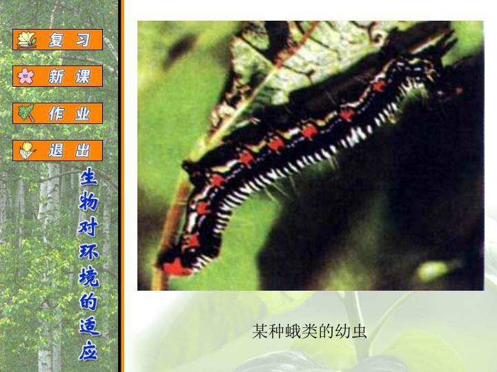 某种蛾类的幼虫