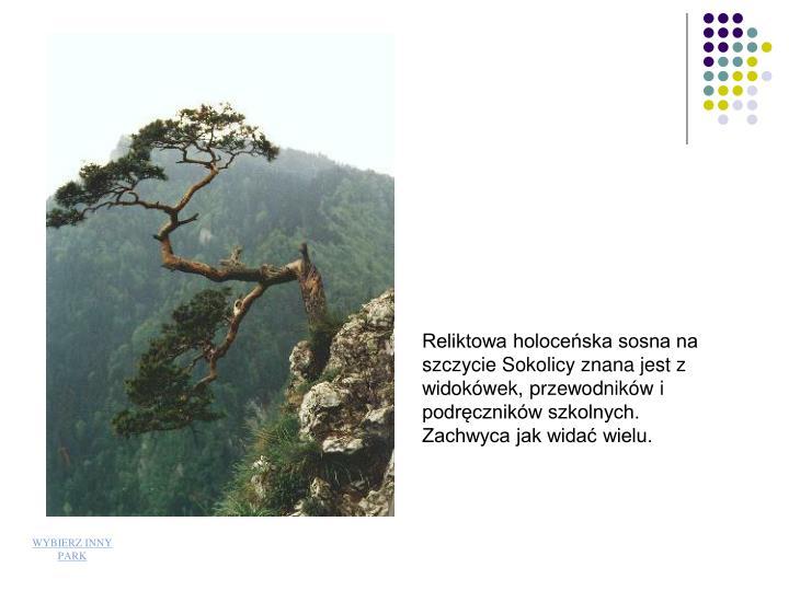 Reliktowa holoceska sosna na szczycie Sokolicy znana jest z widokwek, przewodnikw i podrcznikw szkolnych. Zachwyca jak wida wielu.