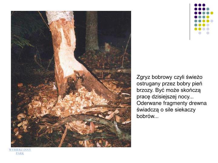Zgryz bobrowy czyli świeżo ostrugany przez bobry pień brzozy. Być może skończą pracę dzisiejszej nocy... Oderwane fragmenty drewna świadczą o sile siekaczy bobrów...