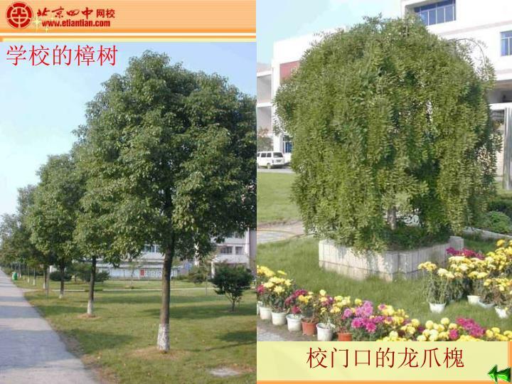 学校的樟树