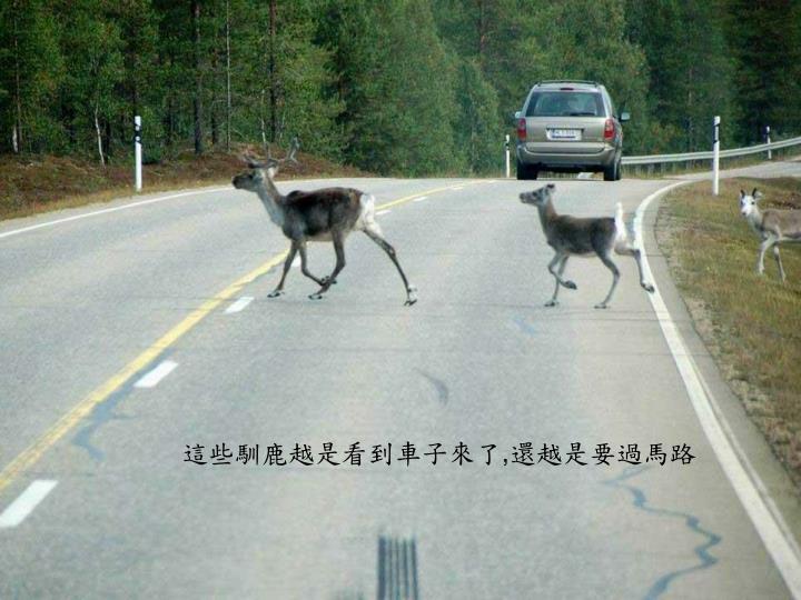 這些馴鹿越是看到車子來了