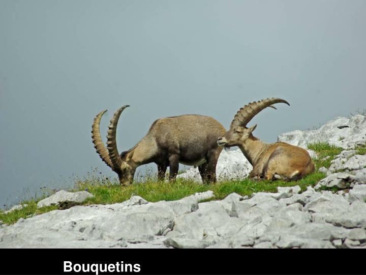 Bouquetins