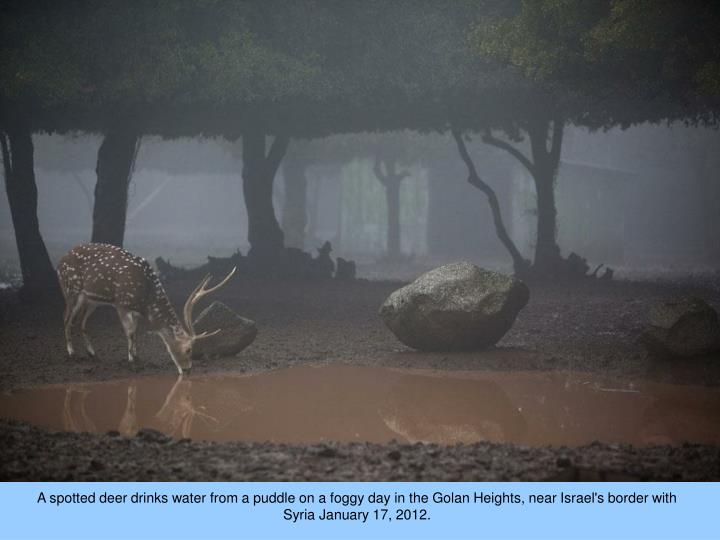 A spotted deer drinks water from a puddle on a foggy day in the Golan Heights, near Israel's border with Syria January 17, 2012.