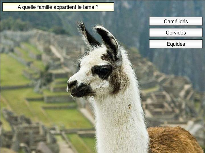 A quelle famille appartient le lama ?