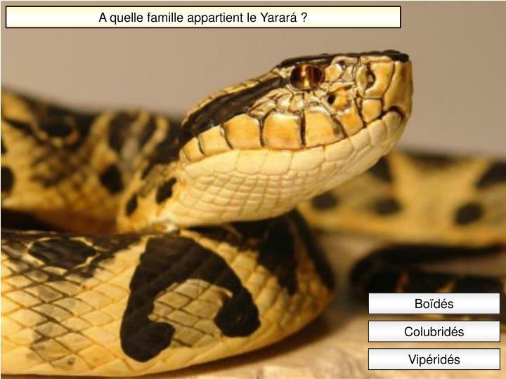 A quelle famille appartient le Yarará ?
