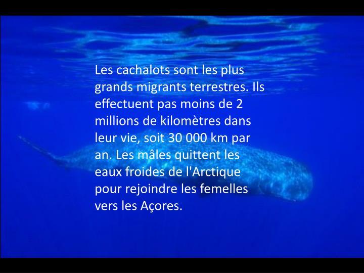 Les cachalots sont les plus grands migrants terrestres. Ils effectuent pas moins de 2 millions de kilomètres dans leur vie, soit 30 000 km par an. Les mâles quittent les eaux froides de l'Arctique pour rejoindre les femelles vers les Açores.