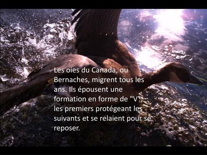 """Les oies du Canada, ou Bernaches, migrent tous les ans. Ils épousent une formation en forme de """"V"""", les premiers protégeant les suivants et se relaient pour se reposer."""