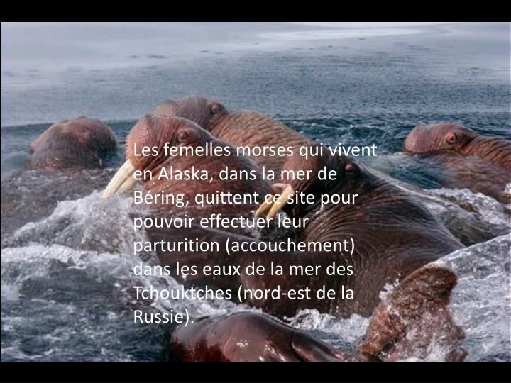 Les femelles morses qui vivent en Alaska, dans la mer de Béring, quittent ce site pour pouvoir effectuer leur parturition (accouchement) dans les eaux de la mer des Tchouktches (nord-est de la Russie).