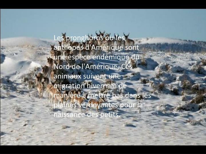 Les pronghorns ou les antilopes d'Amérique sont une espèce endémique du Nord de l'Amérique. Ces animaux suivent une migration hivernale de manière à mettre bas dans les plaines verdoyantes pour la naissance des petits.