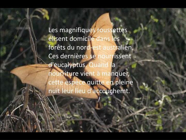 Les magnifiques roussettes élisent domicile dans les forêts du nord-est australien. Ces dernières se nourrissent d'eucalyptus. Quand la nourriture vient à manquer, cette espèce quitte en pleine nuit leur lieu d'accouchemt.