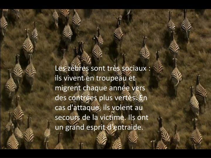 Les zèbres sont très sociaux : ils vivent en troupeau et migrent chaque année vers des contrées plus vertes. En cas d'attaque, ils volent au secours de la victime. Ils ont un grand esprit d'entraide.