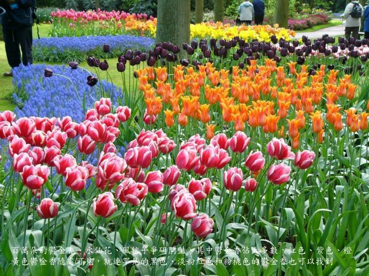 百萬朵的鬱金香、水仙花、風信子爭研鬥豔,其中鬱金香佔大多數,紅色、紫色、橙黃色鬱金香隨處可見,就連罕見的黑色、淡粉紅色和粉桃色的鬱金香也可以找到