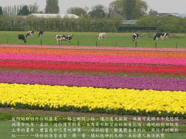 從阿姆斯特丹往郊區走,一路上鄉間小路,運河波光粼粼,偶爾可見綿羊牛兒悠閒地漫步吃草,當然,這些僅是配角,主角是不斷冒出的漸層花海;遍地的花田就像上帝的畫布,豐富色彩恣意地揮灑──水仙的黃,艷麗鬱金香的紅,風信子的嫩粉紅