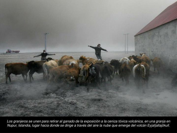 Los granjeros se unen para retirar al ganado de la exposicin a la ceniza txica volcnica, en una granja en Nupur, Islandia, lugar hacia donde se dirige a travs del aire la nube que emerge del volcn Eyjafjallajkull.