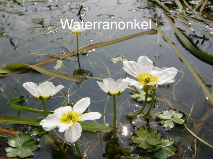 Waterranonkel