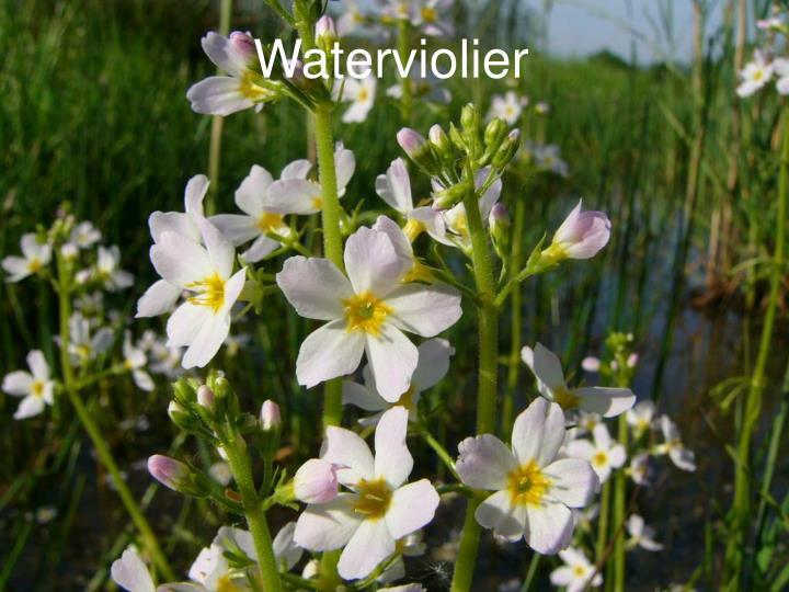 Waterviolier