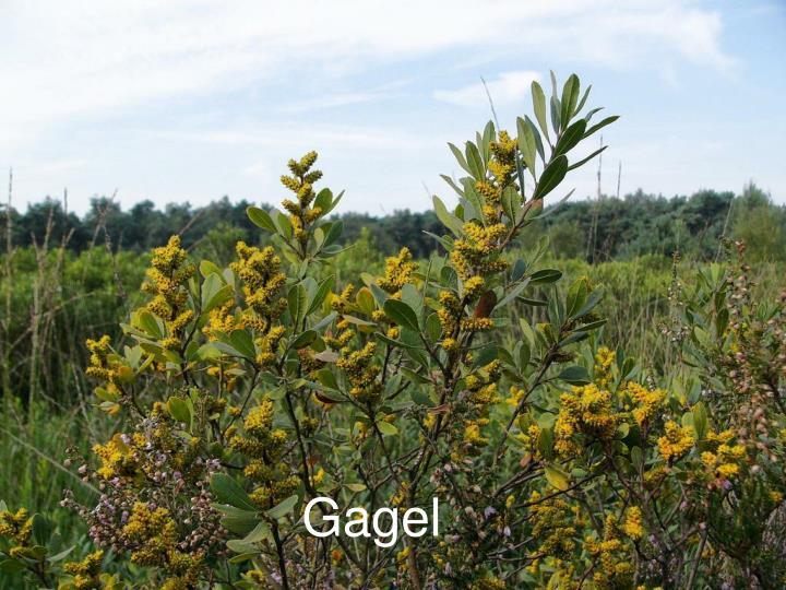 Gagel