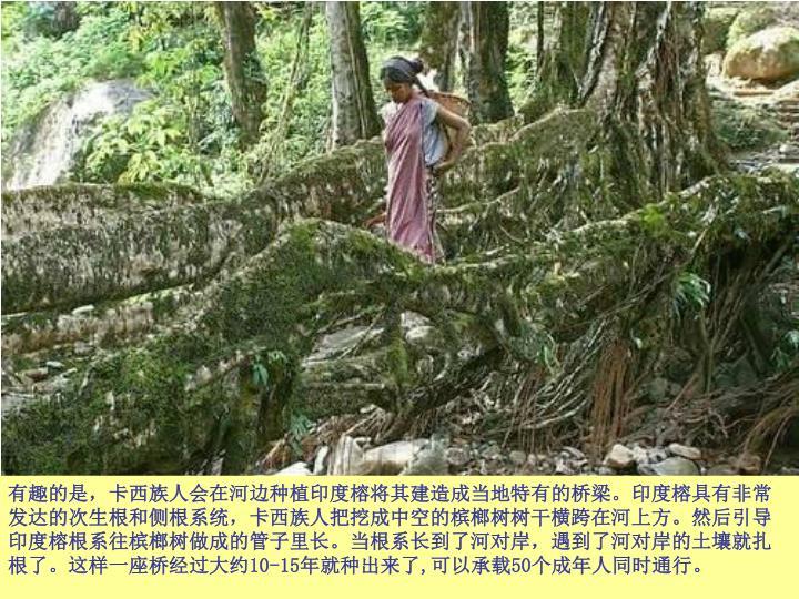 有趣的是,卡西族人会在河边种植印度榕将其建造成当地特有的桥梁。印度榕具有非常发达的次生根和侧根系统,卡西族人把挖成中空的槟榔树树干横跨在河上方。然后引导印度榕根系往槟榔树做成的管子里长。当根系长到了河对岸,遇到了河对岸的土壤就扎根了。这样一座桥经过大约