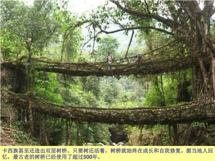 卡西族甚至还造出双层树桥。只要树还活着,树桥就始终在成长和自我修复。据当地人回忆,最古老的树桥已经使用了超过
