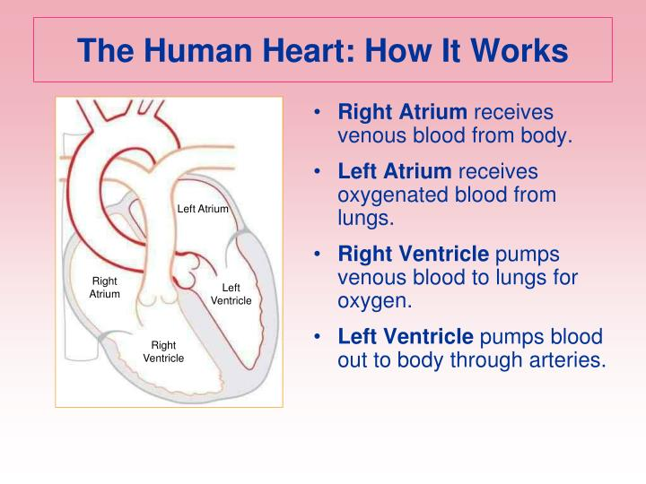The Human Heart: How It Works