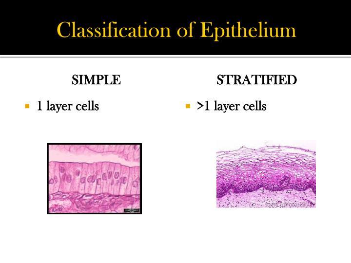 Classification of Epithelium