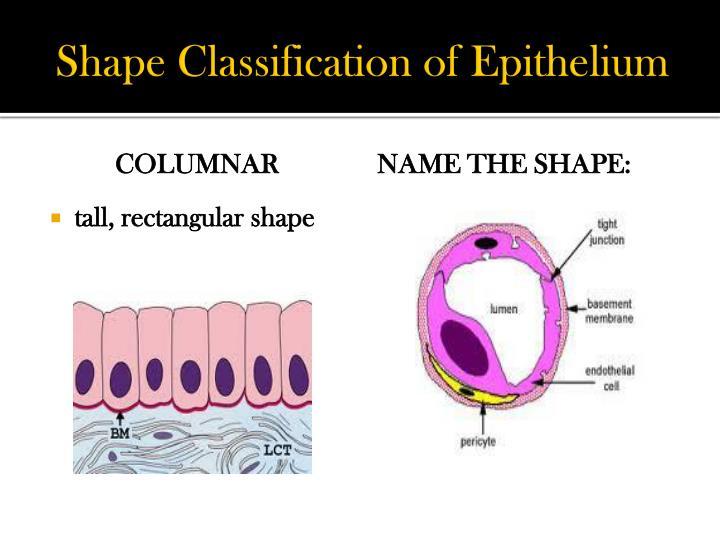 Shape Classification of Epithelium