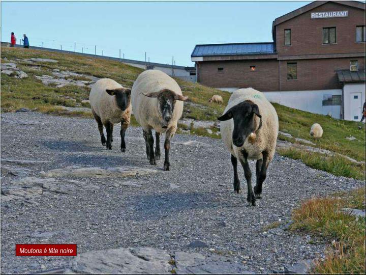 Moutons à tête noire