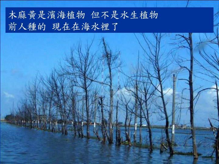 木麻黃是濱海植物 但不是水生植物