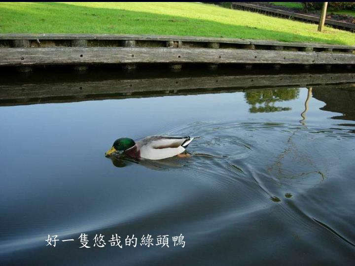 好一隻悠哉的綠頭鴨