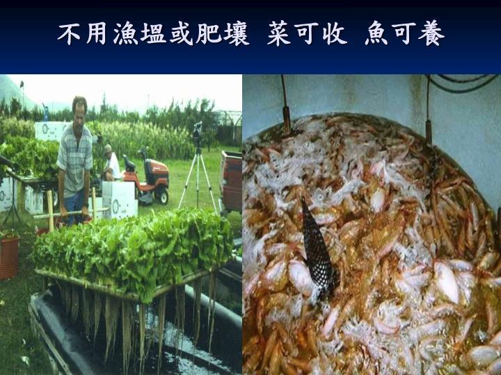 不用漁塭或肥壤 菜可收 魚可養