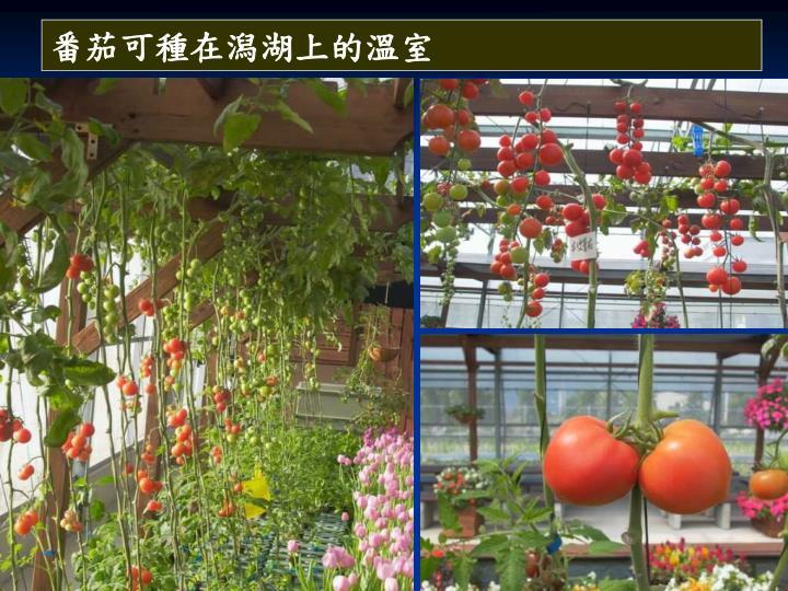 番茄可種在潟湖上的溫室
