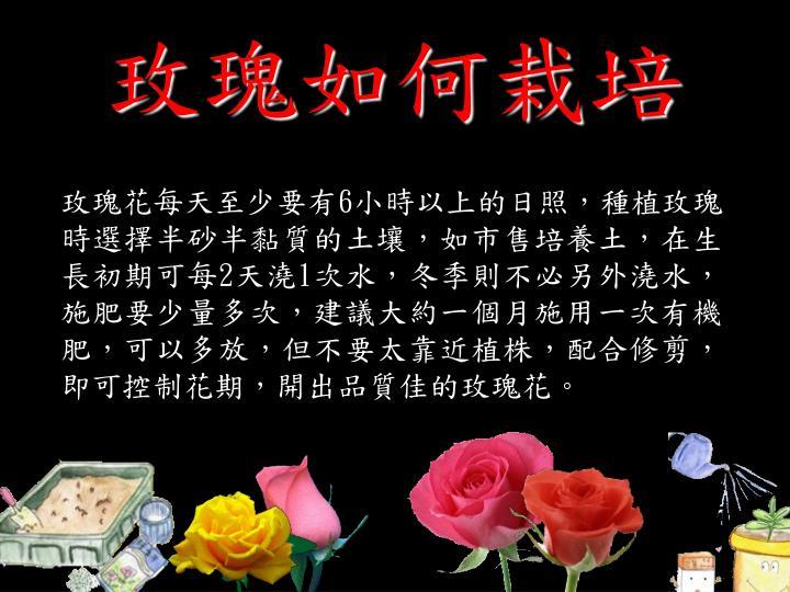 玫瑰如何栽培