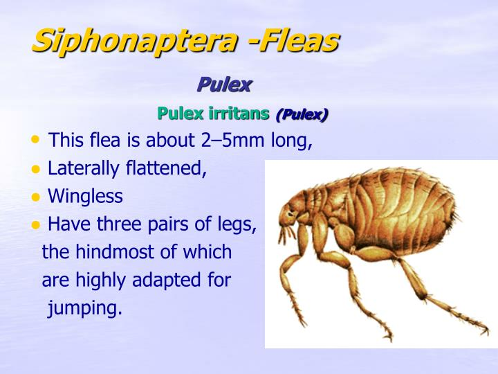 Siphonaptera -Fleas