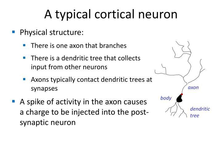 A typical cortical neuron
