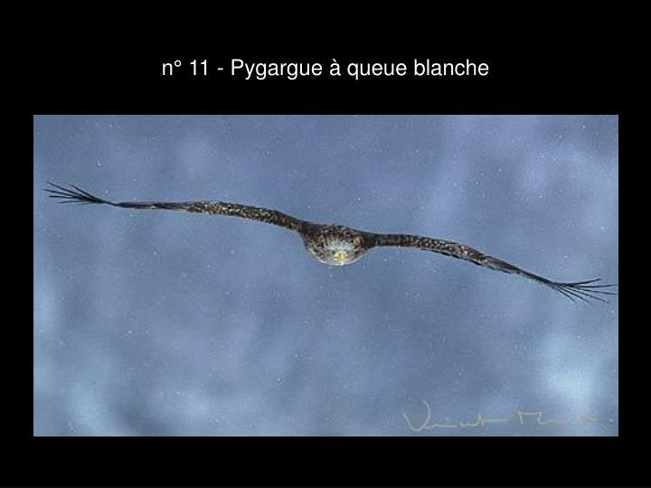 n° 11 - Pygargue à queue blanche