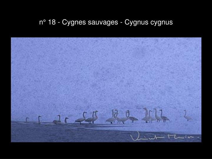 n° 18 - Cygnes sauvages - Cygnus cygnus