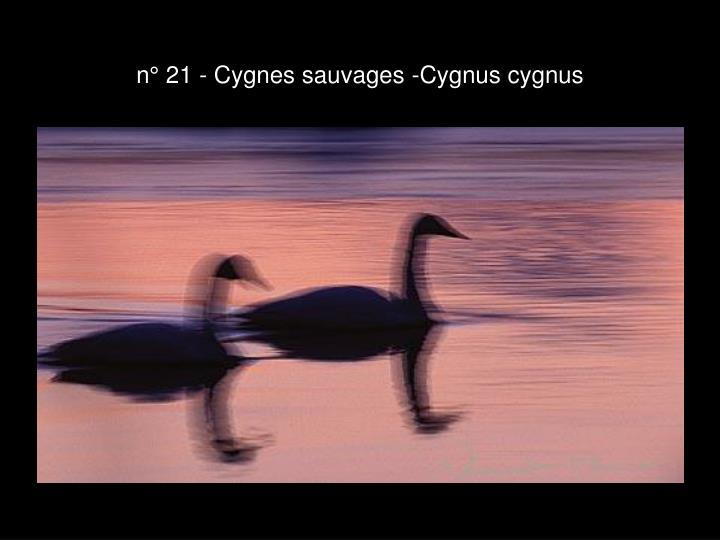 n° 21 - Cygnes sauvages -Cygnus cygnus