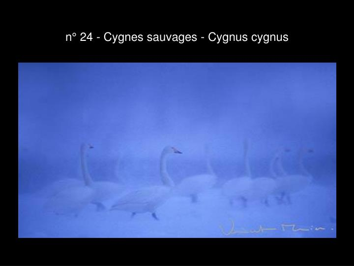n° 24 - Cygnes sauvages - Cygnus cygnus