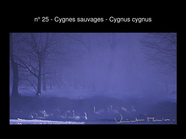 n° 25 - Cygnes sauvages - Cygnus cygnus