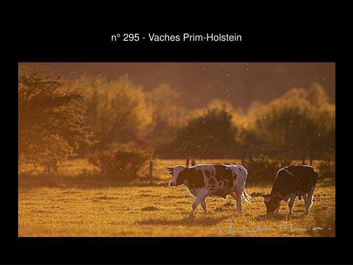 n° 295 - Vaches Prim-Holstein