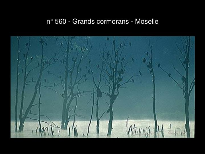 n° 560 - Grands cormorans - Moselle