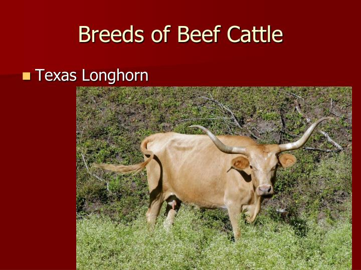 Breeds of Beef Cattle