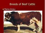 breeds of beef cattle5