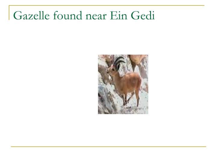 Gazelle found near Ein Gedi