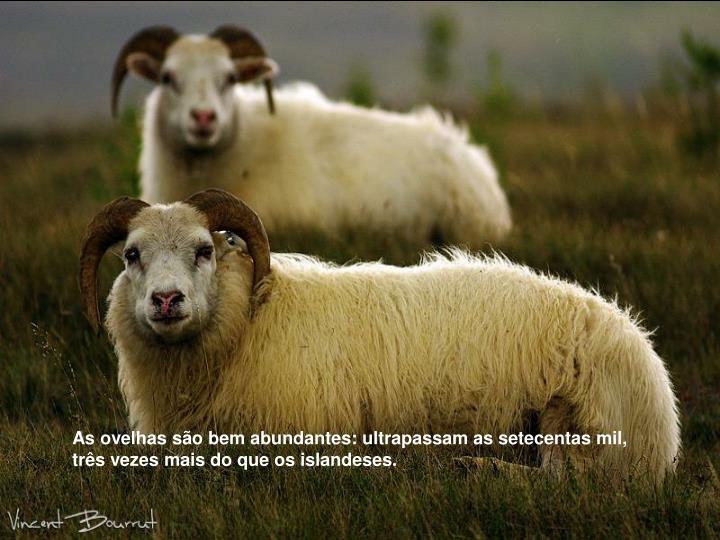 As ovelhas são bem abundantes: ultrapassam as setecentas mil, três vezes mais do que os islandeses.