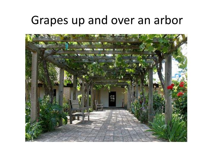 Grapes up and over an arbor