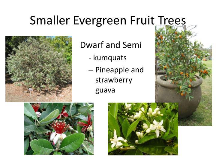 Smaller Evergreen Fruit Trees